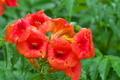 [ノウゼンカズラ][ノウゼンカズラ科][雨][赤い花][オレンジ色の花]ノウゼンカズラ