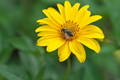 [キクイモモドキ][キク科][キクイモ][葉切蜂][黄色い花]キクイモモドキ