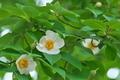 [ナツツバキ][ツバキ科][沙羅の木][夏椿][白い花]ナツツバキ