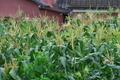 [トウモロコシ畑][トウモロコシ][とうもろこし][山里][小日向]トウモロコシ畑