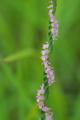 [ネジバナ][ラン科][道端][多年草][ピンク色の花]ネジバナ