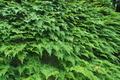 [シノブ][シノブ科][着生植物][石垣][行田]シノブ