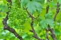 [ブドウ畑][葡萄畑][ブドウ][葡萄][ぶどう]ブドウ畑