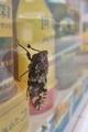 [ニイニイゼミ][セミ科][蝉][レッドリスト][自販機]ニイニイゼミ