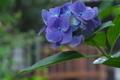 [紫陽花][アジサイ][あじさい][補陀寺][青い花]紫陽花