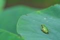 [アマガエル][アマガエル科][カエル][蛙][雨蛙]アマガエル