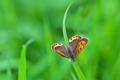 [ベニシジミ][シジミチョウ科][シジミチョウ][田畑][赤いチョウ]ベニシジミ