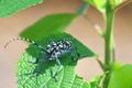 [ゴマダラカミキリ][カミキリムシ科][カミキリムシ][黒い甲虫][イラクサ]ゴマダラカミキリ