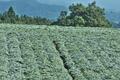 [コンニャク畑][こんにゃく畑][蒟蒻畑][コンニャク][こしね]コンニャク畑