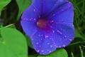 [朝顔][アサガオ][あさがお][ヒルガオ科][青い花]朝顔