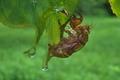 [アブラゼミ][セミ科][蝉][セミ][抜け殻]アブラゼミ