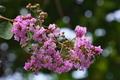 [サルスベリ][ミソハギ科][百日紅][ピンク色の花][諸戸]サルスベリ