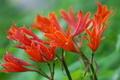 [キツネノカミソリ][ヒガンバナ科][狐の剃刀][オレンジ色の花][赤い花]キツネノカミソリ
