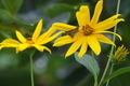 [キクイモ][キク科][行田][背の高い花][黄色い花]キクイモ