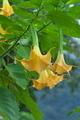 [ブルグマンシア][ナス科][エンゼルトランペット][黄色い花]ブルグマンシア