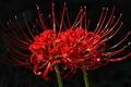[ヒガンバナ][ヒガンバナ科][彼岸花][土橋][赤い花]ヒガンバナ