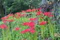 [ヒガンバナ][ヒガンバナ科][曼珠沙華][赤い花][妙義神社]ヒガンバナ