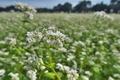 [ソバ畑][そば畑][秋そば][蕎麦][白い花]ソバ畑