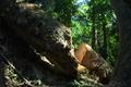 [倒木][モミ][巨木][登山道][大の字]倒木
