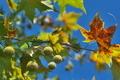 [プラタナス][スズカケノキ科][モミジバスズカケノキ][黄葉][丸い実]プラタナス