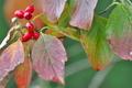 [ハナミズキ][ミズキ科][花水木][アメリカヤマボウシ][赤い実]ハナミズキ