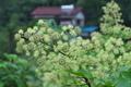 [ウド畑][ウコギ科][ウド][独活][散形花序]ウド畑