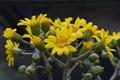 [ツワブキ][キク科][波己曽社][黄色い花][妙義神社]ツワブキ