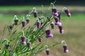 [タカアザミ][キク科][アザミ][薊][紫色の花]タカアザミ