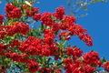 [トキワサンザシ][バラ科][ピラカンサ][秋晴れ][赤い実]トキワサンザシ