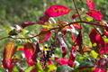 [ヨウシュヤマゴボウ][ヤマゴボウ科][インクベリー][黒い実][赤い葉]ヨウシュヤマゴボウ