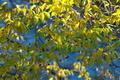 [ムクノキ][ニレ科][椋][椋の木][黄色い葉]ムクノキ