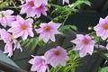 [キダチダリア][キク科][皇帝ダリア][紫色の花][ピンク色の花]キダチダリア