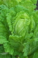 [白菜畑][ハクサイ畑][白菜][ハクサイ][冬野菜]白菜畑