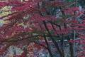 [紅葉も終盤][登山道][銅鳥居][イロハモミジ][妙義神社]紅葉も終盤