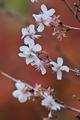 [冬桜][桜][サクラ][さくら][妙義神社]冬桜
