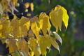 [蝋梅][ロウバイ][ロウバイ科][補陀寺][黄色い葉]蝋梅