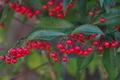 [マンリョウ][ヤブコウジ科][万両][補陀寺][赤い実]マンリョウ