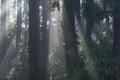 [スギ林][スギ][杉][朝もや][朝靄]スギ林
