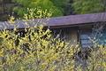 [ロウバイ][ロウバイ科][蝋梅][行沢][黄色い花]ロウバイ