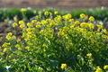 [菜の花][菜の花畑][アブラナ科][山里][黄色い花]菜の花