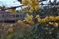 [ロウバイ][ロウバイ科][蝋梅][信越本線][黄色い花]ロウバイ