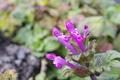 [ホトケノザ][シソ科][仏の座][長松寺][ピンク色の花]ホトケノザ