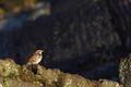 [ツグミ][ヒタキ科][石垣][冬鳥][妙義神社]ツグミ