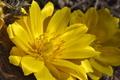 [フクジュソウ][キンポウゲ科][福寿草][小日向][黄色い花]フクジュソウ