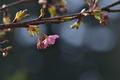 [桜][サクラ][河津桜][カワヅザクラ][妙義神社]桜