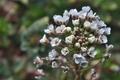 [ナズナ][アブラナ科][ぺんぺん草][道端][白い花]ナズナ