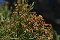 [スギ花粉の時期][スギ][杉][雄花][妙義神社]スギ花粉の時期