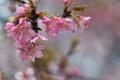 [桜][サクラ][春の長雨][カワヅザクラ][河津桜]桜