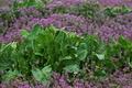 [ホウレンソウ畑][ほうれん草畑][ホウレン草][ほうれん草][ホトケノザ]ホウレンソウ畑
