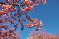 [寒の戻り][桜][サクラ][河津桜][花冷え]寒の戻り